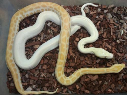 Pearl het. Green + Albino Ivory