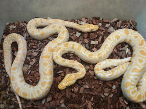 Albino pair