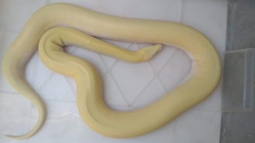 1. Albino Ivory ♀ 7 000,-