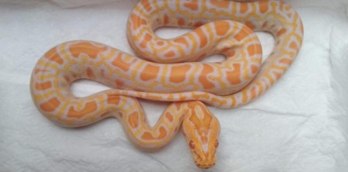 Albino Caramel