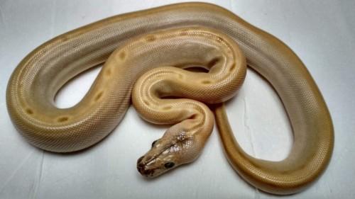Hypo Green het. Albino Granit