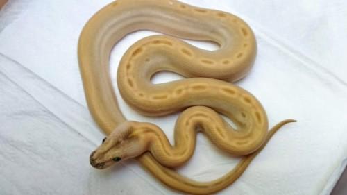 Hypo Green 66% het. Albino Granit